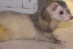 Bandit my other ferret male