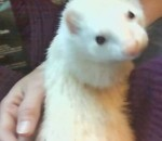 Dude my first ferret