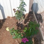 Rose Garden 6
