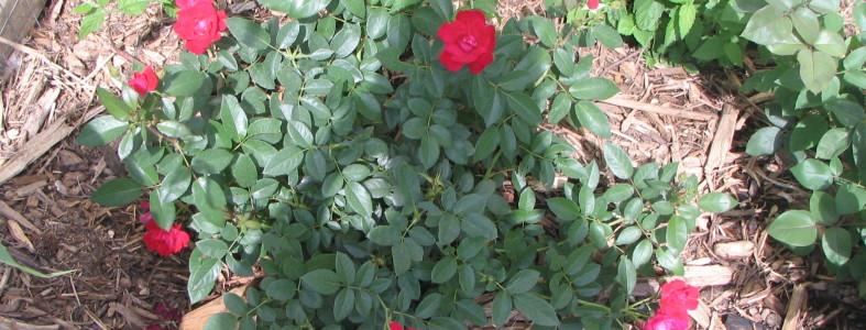 Rose Update 3